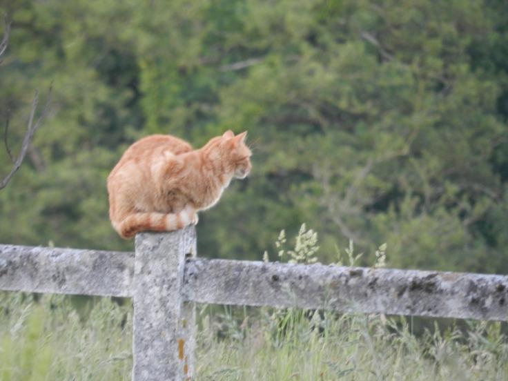 Nazca, la chatte rousse de la ferme