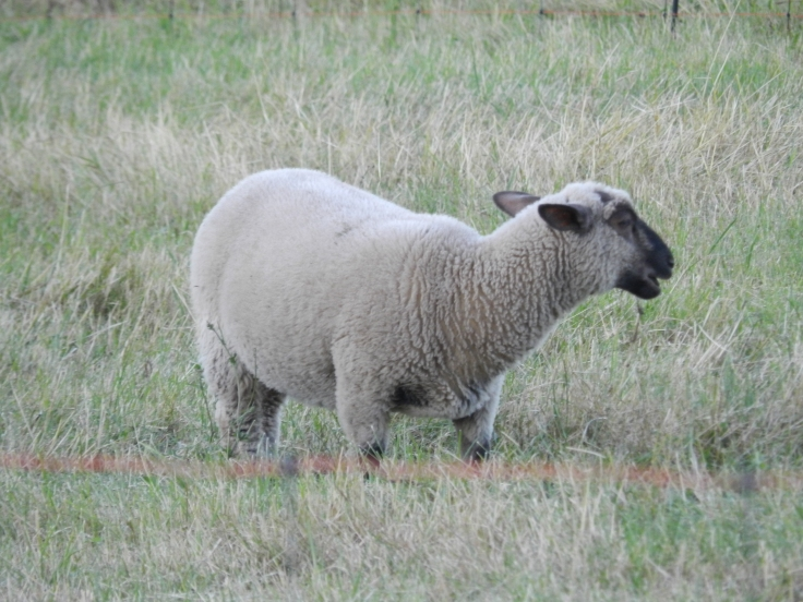 mouton bêle