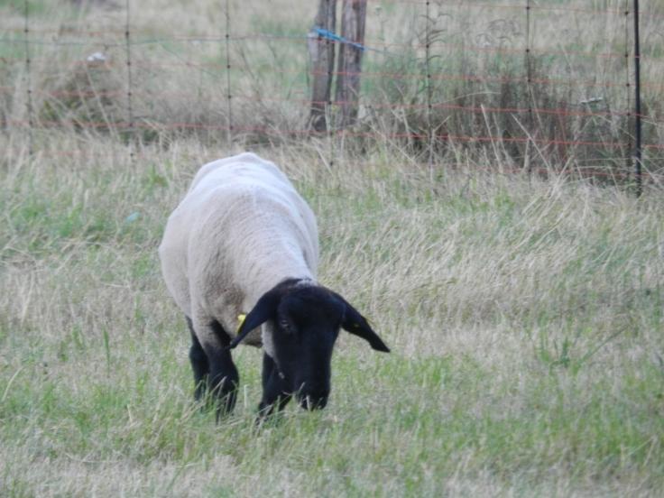 Chaussette, la brebis Suffolk de La p'Thite Marmande