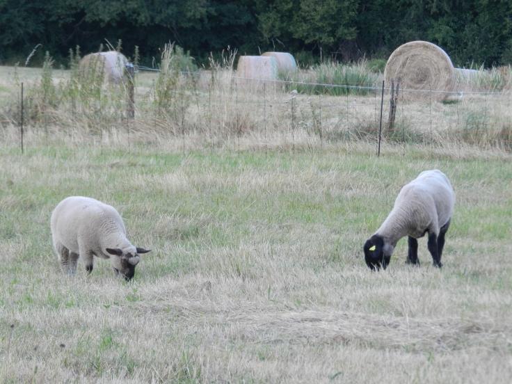 Deux moutons (brebis) à tête noire