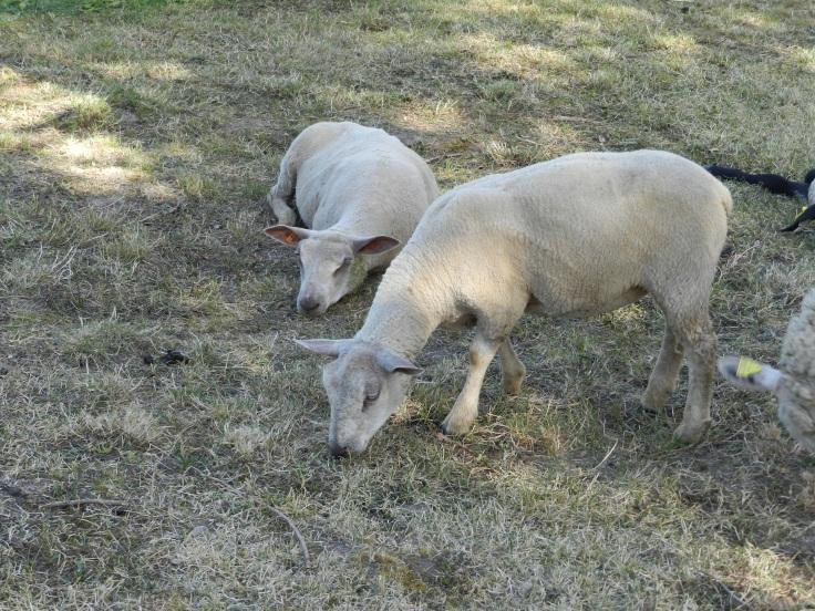 Les 2 petites brebis nées en mars 2020 pendant le confinement.