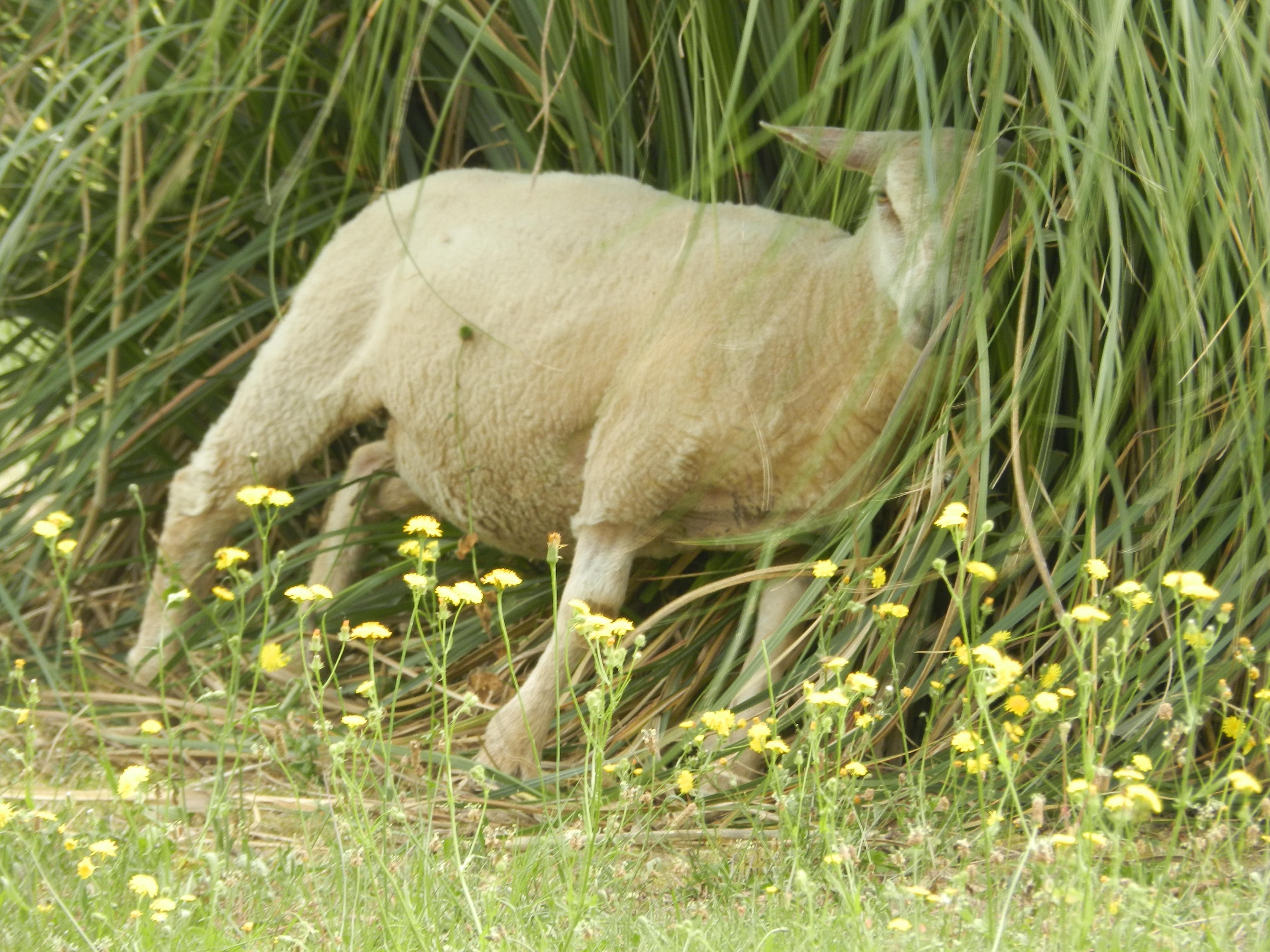 Les moutons apprécient de se gratter sur les herbes de la pampa