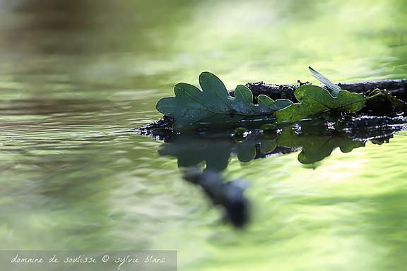 Feuilles de chêne sur les eaux calmes de l'étang