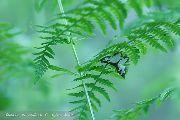 Papillon bleu et noir posé sur une fougère aigle