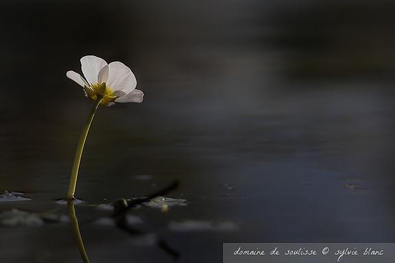 fleur sur l'étang de soulisse à La p'Thite Marmande