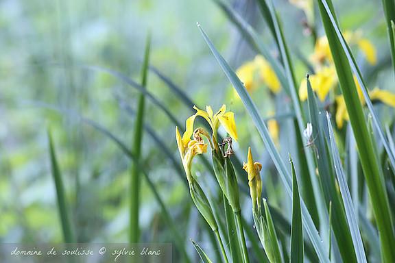 Iris des marais sur les berges de l'étang