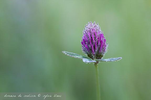 fleur de trèfle et rosée du matin