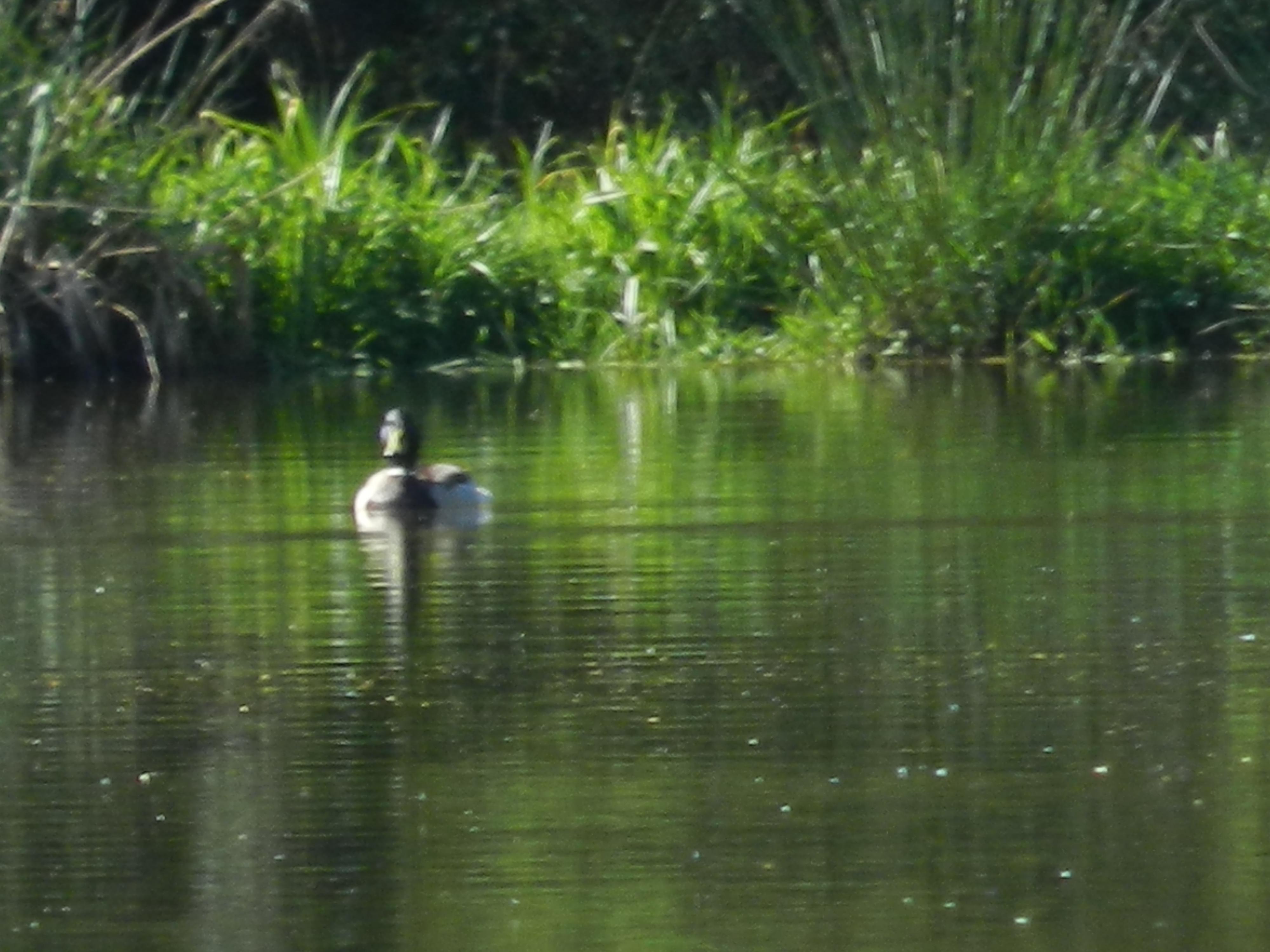 Canard colvert sur l'étang de Soulisse à la p'Thite Marmande