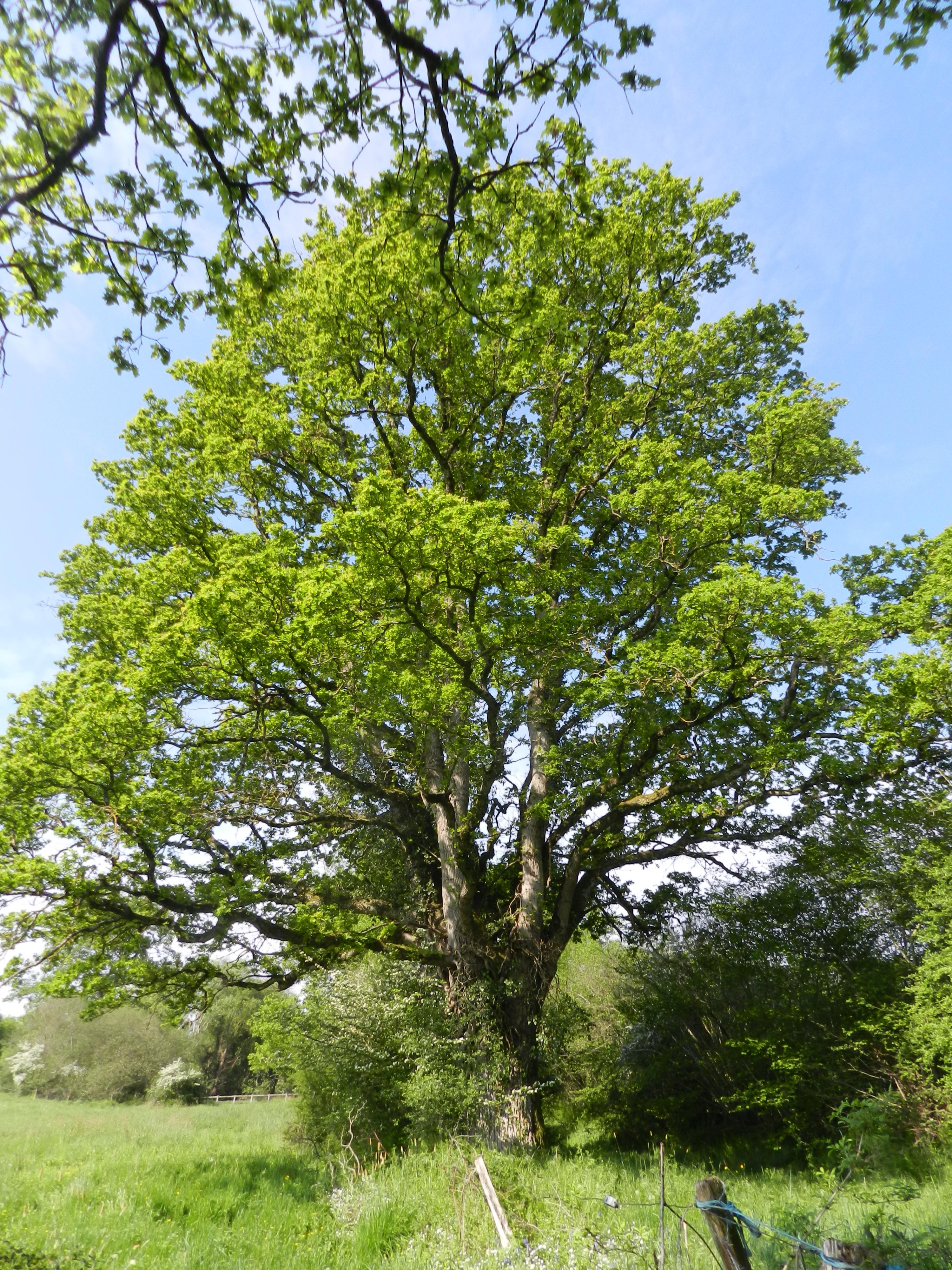 L'un des grands chênes de La p'Thite Marmande