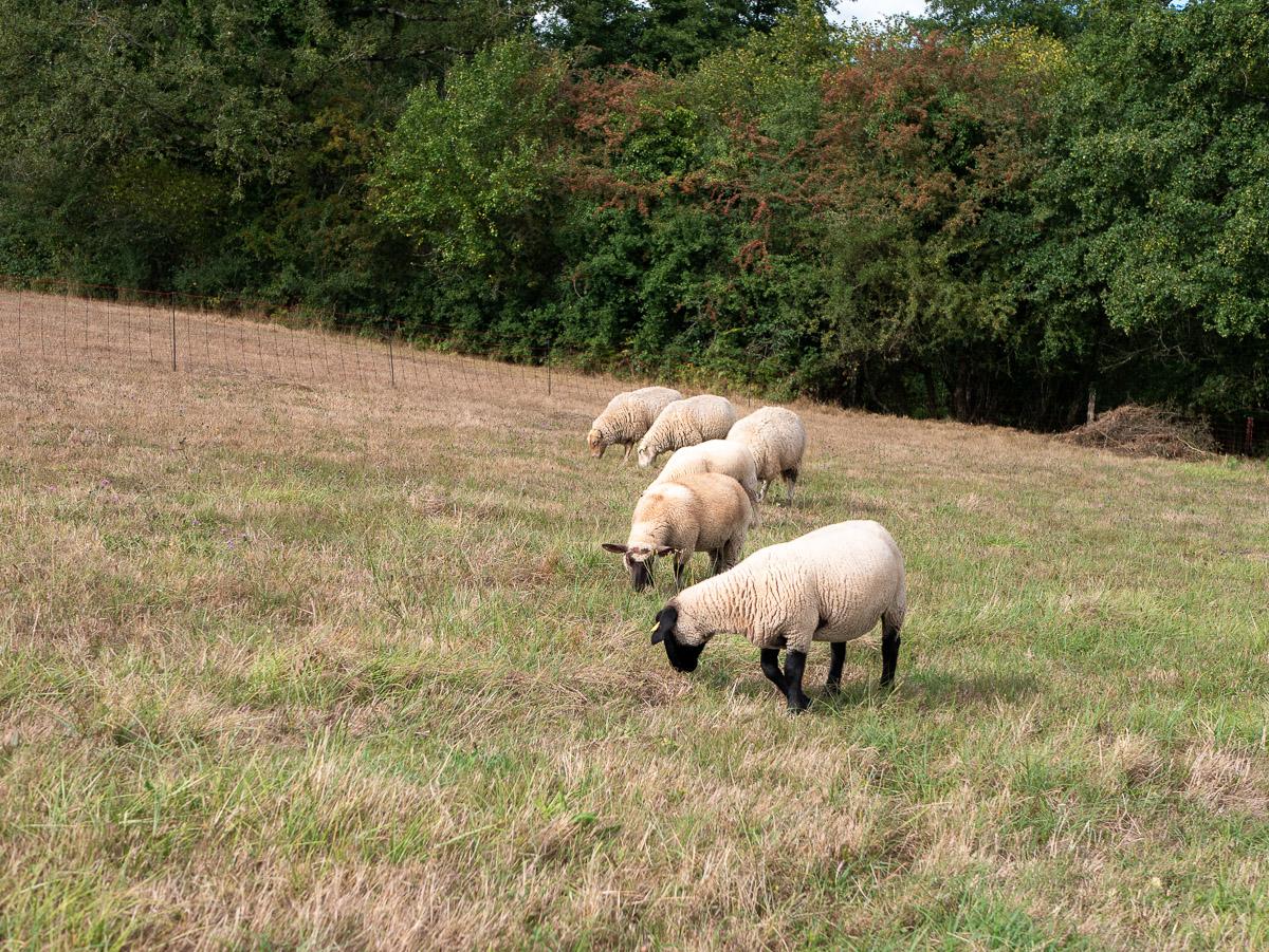 moutons-brebis