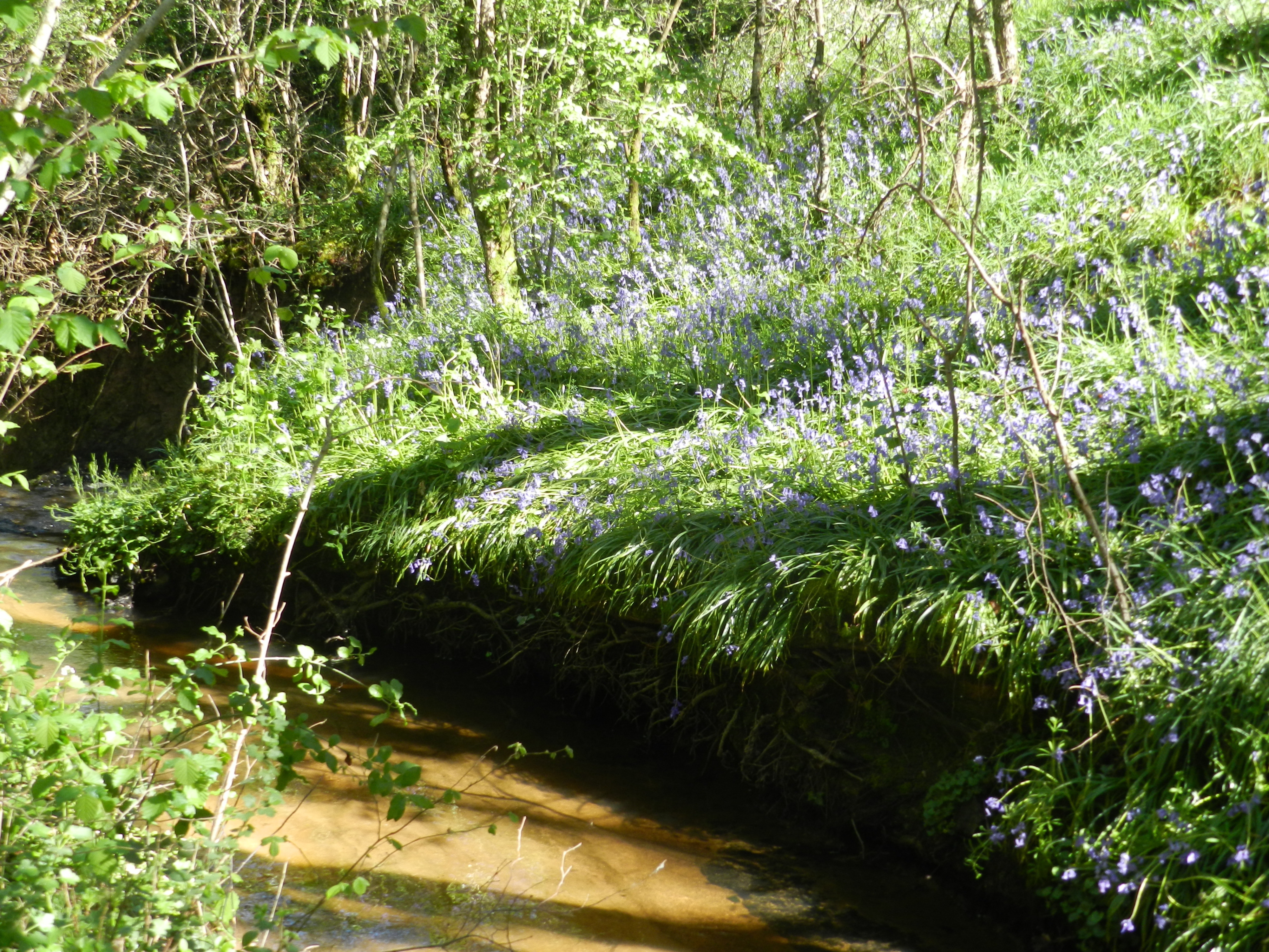Le ruisseau du Thiolais et sa berge fleuri d'asperges sauvages