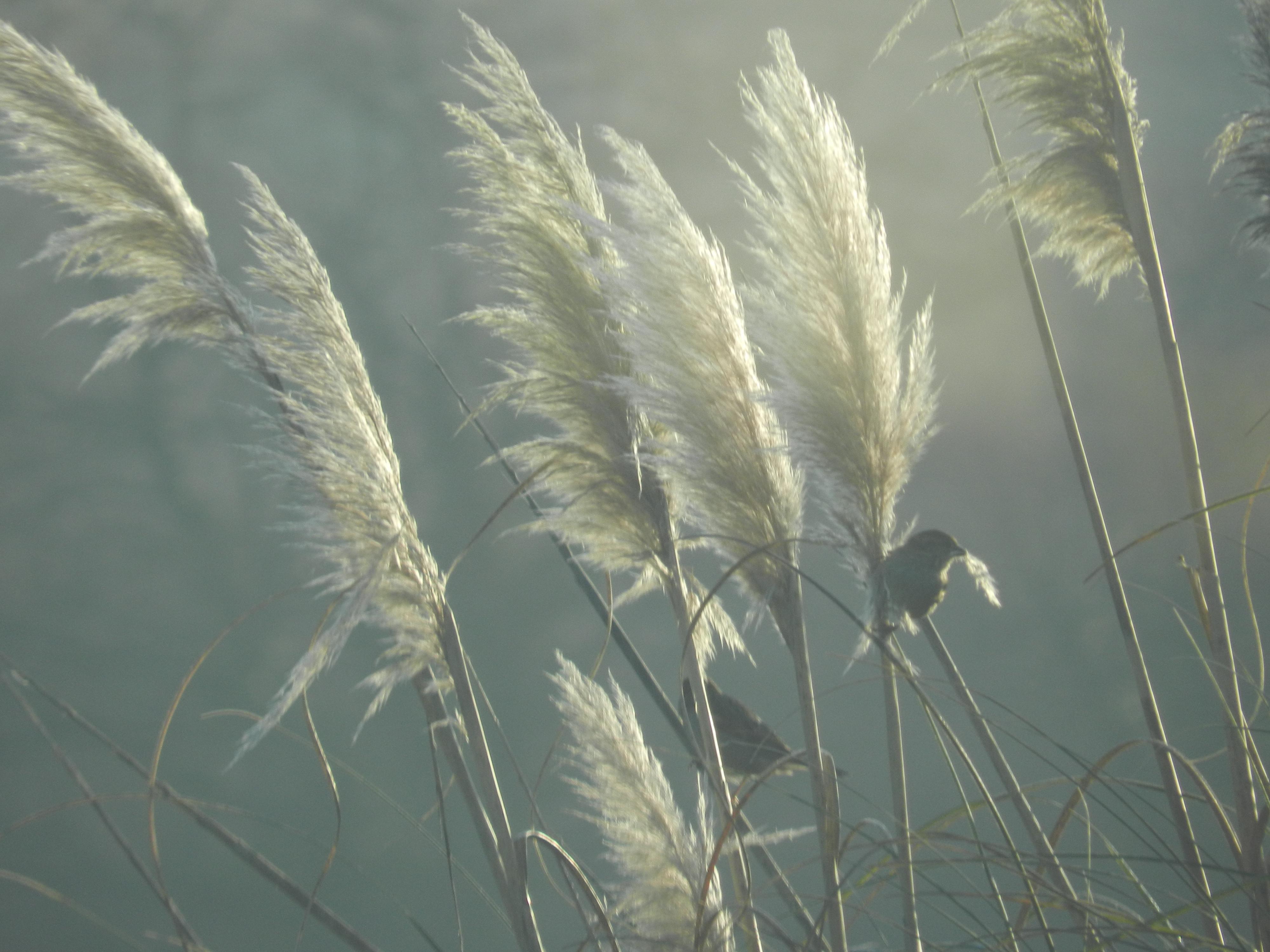 """Les oiseaux font leurs nids grâce aux """"plumeaux"""" des herbes de la pampa"""
