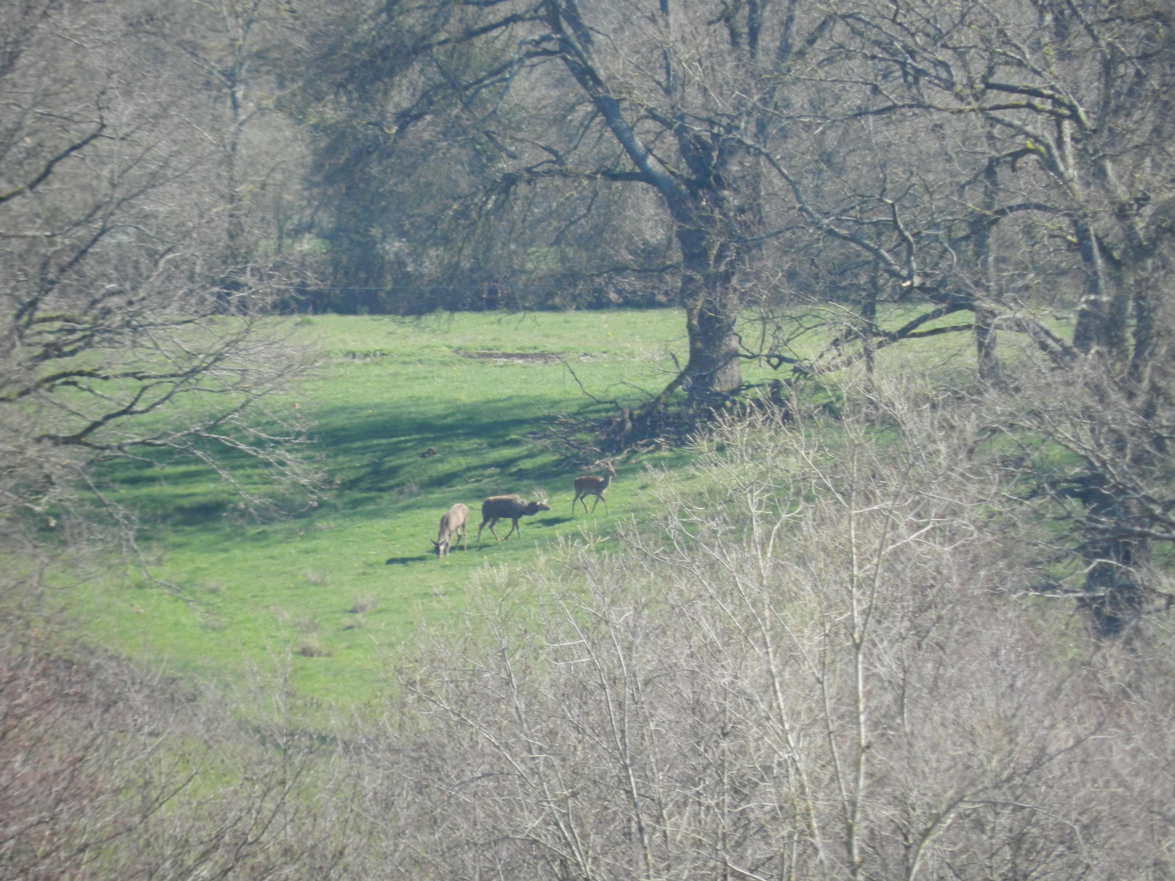 Sur la colline d'en face, 2 cerfs et une biche